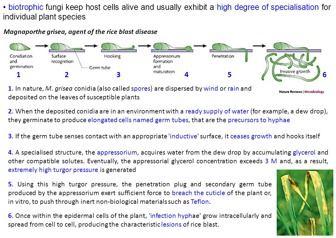 biotrophic fungi keep host cells alive and usually exhibit a high degree of specialisation for individual plant species Magnaporthe grisea, agent of the rice blast disease 1.