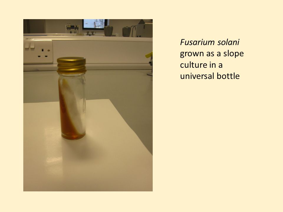 Fusarium solani grown as a slope culture in a universal bottle