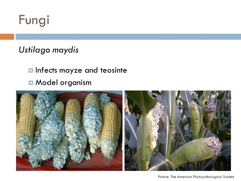 Ustilago maydis  Infects mayze and teosinte  Model organism Picture: The American Phytopathological Society