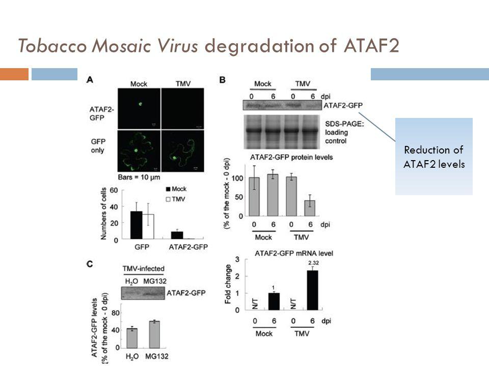 Tobacco Mosaic Virus degradation of ATAF2 Reduction of ATAF2 levels