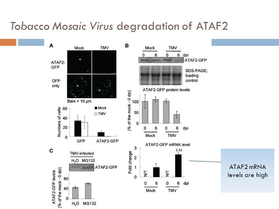 Tobacco Mosaic Virus degradation of ATAF2 ATAF2 mRNA levels are high