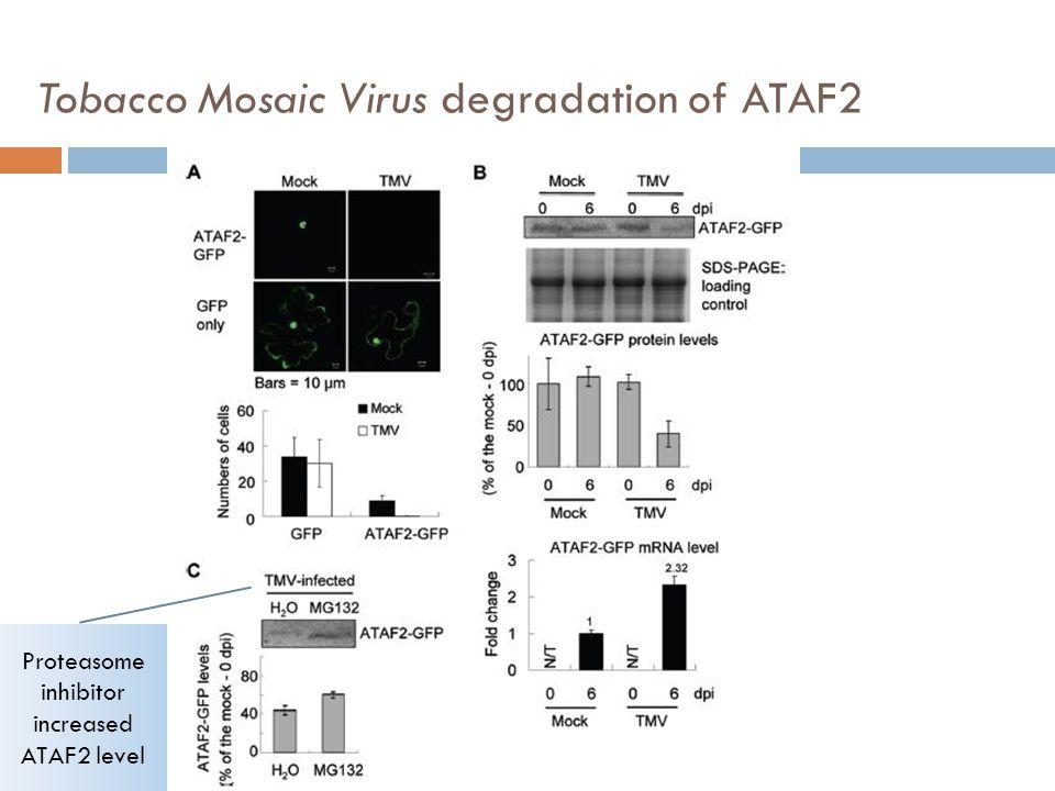 Tobacco Mosaic Virus degradation of ATAF2 Proteasome inhibitor increased ATAF2 level