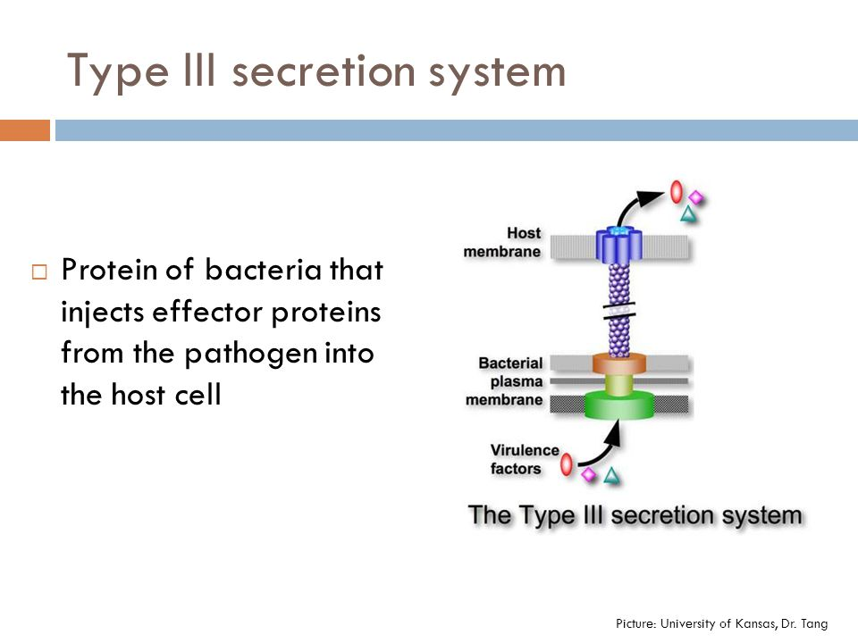 Type III secretion system  Protein of bacteria that injects effector proteins from the pathogen into the host cell Picture: University of Kansas, Dr.