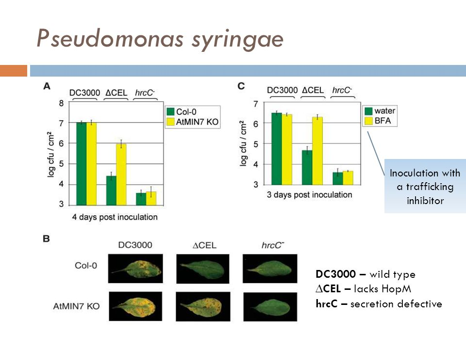 Pseudomonas syringae DC3000 – wild type ∆CEL – lacks HopM hrcC – secretion defective Inoculation with a trafficking inhibitor
