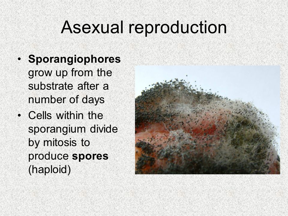 Asexual reproduction Sporangiophores grow up from the substrate after a number of days Cells within the sporangium divide by mitosis to produce spores