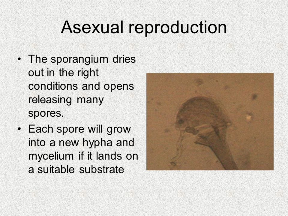 Asexual reproduction The sporangium dries out in the right conditions and opens releasing many spores. Each spore will grow into a new hypha and mycel