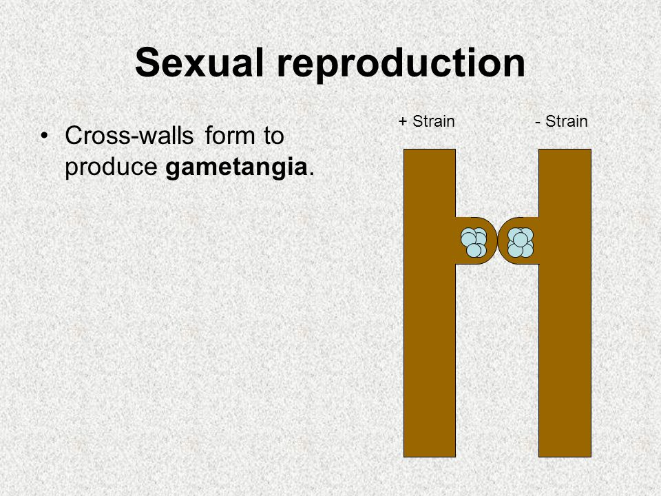 Sexual reproduction Cross-walls form to produce gametangia. + Strain- Strain