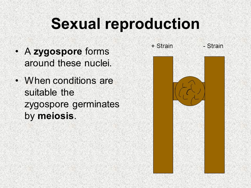 Sexual reproduction A zygospore forms around these nuclei. When conditions are suitable the zygospore germinates by meiosis. + Strain- Strain