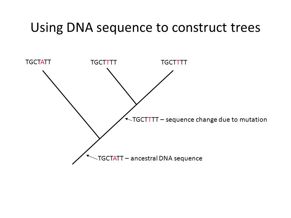 Using DNA sequence to construct trees TGCTATT TGCTTTT TGCTATT – ancestral DNA sequence TGCTTTT – sequence change due to mutation