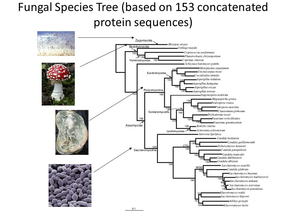 Fungal Species Tree (based on 153 concatenated protein sequences)