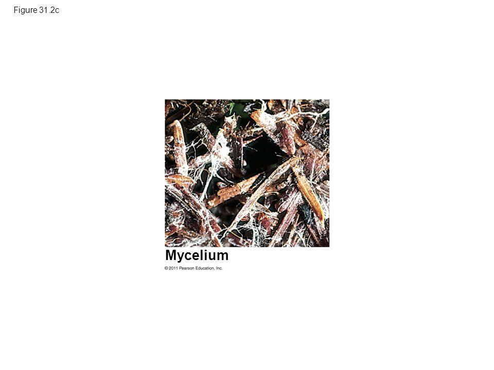 Figure 31.2c Mycelium