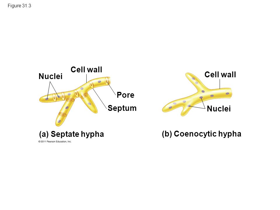 Figure 31.3 (a) Septate hypha (b) Coenocytic hypha Nuclei Cell wall Pore Septum Nuclei Cell wall