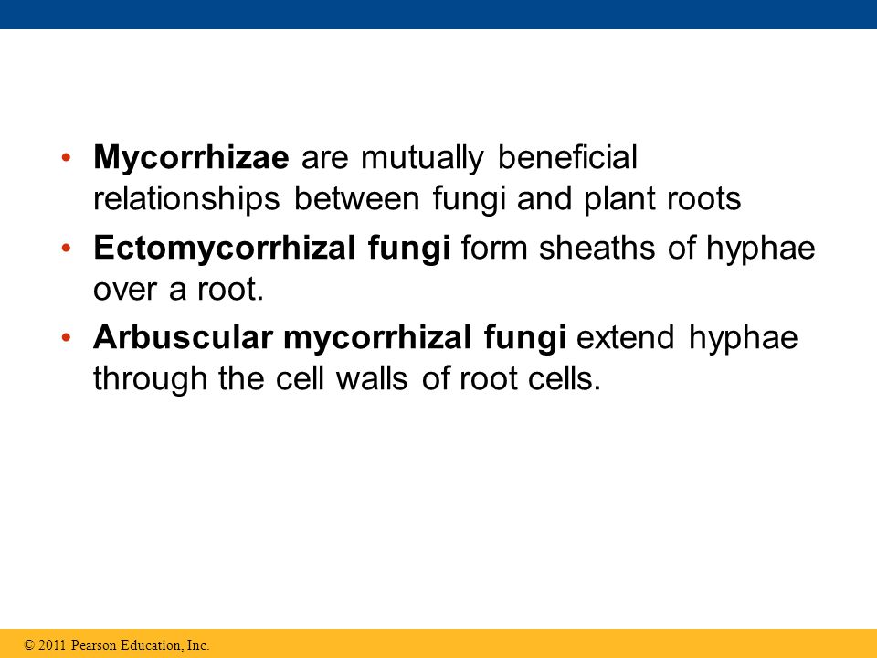 Mycorrhizae are mutually beneficial relationships between fungi and plant roots Ectomycorrhizal fungi form sheaths of hyphae over a root.