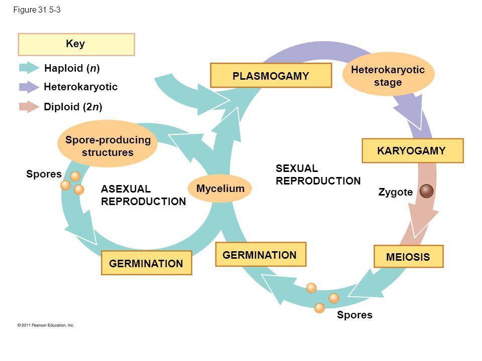 Figure 31.5-3 PLASMOGAMY Key Haploid (n) Heterokaryotic Diploid (2n) Spores Spore-producing structures ASEXUAL REPRODUCTION SEXUAL REPRODUCTION GERMIN