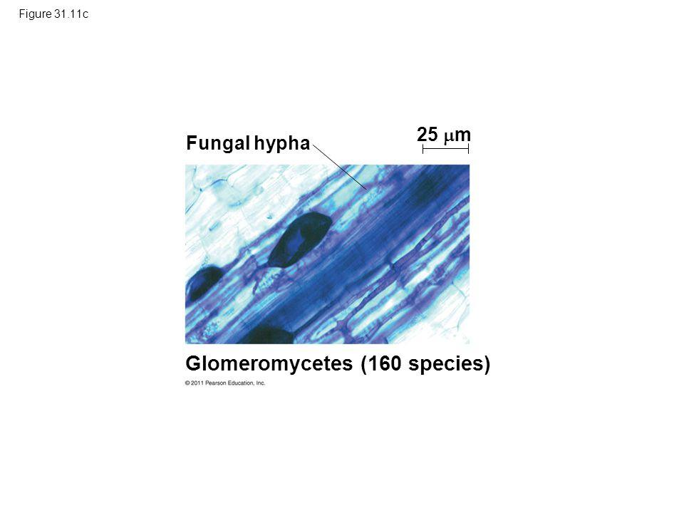 Figure 31.11c Glomeromycetes (160 species) 25  m Fungal hypha