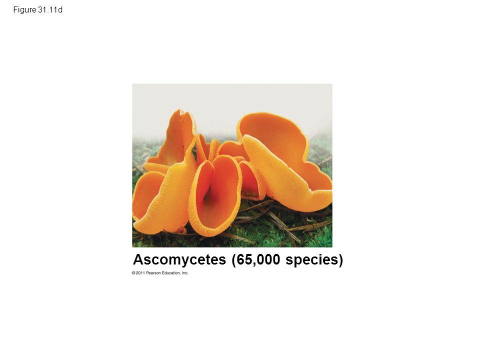 Figure 31.11d Ascomycetes (65,000 species)