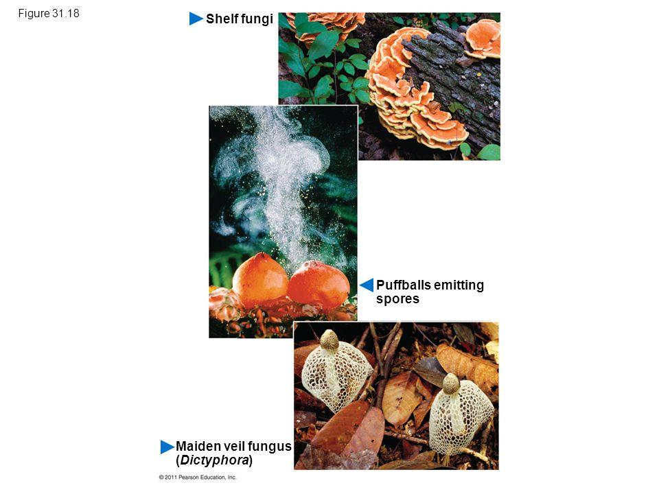 Figure 31.18 Shelf fungi Puffballs emitting spores Maiden veil fungus (Dictyphora)