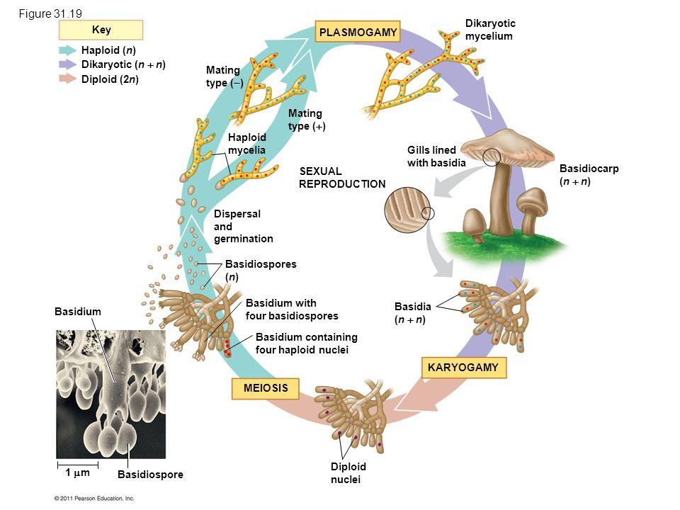 Key Haploid (n) Diploid (2n) Dikaryotic (n  n) Mating type (  ) Mating type (  ) Haploid mycelia SEXUAL REPRODUCTION Dispersal and germination Basi