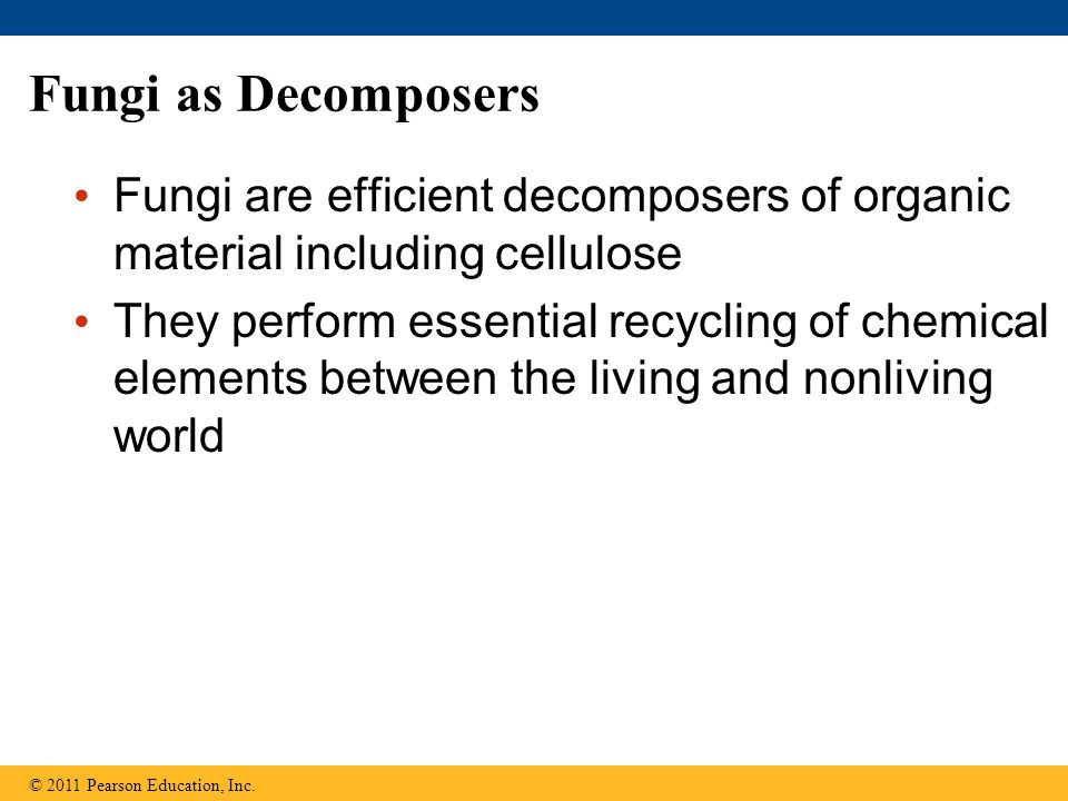 Fungi as Decomposers Fungi are efficient decomposers of organic material including cellulose They perform essential recycling of chemical elements between the living and nonliving world © 2011 Pearson Education, Inc.