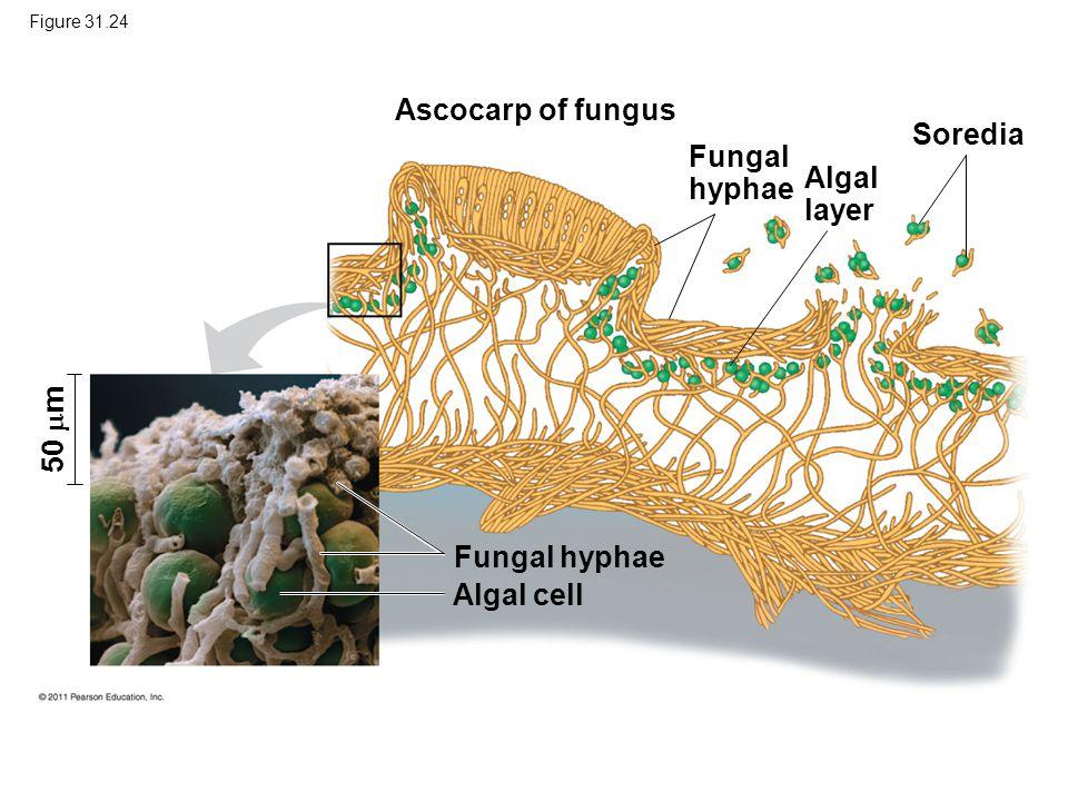 Figure 31.24 Ascocarp of fungus 50  m Fungal hyphae Algal layer Soredia Fungal hyphae Algal cell