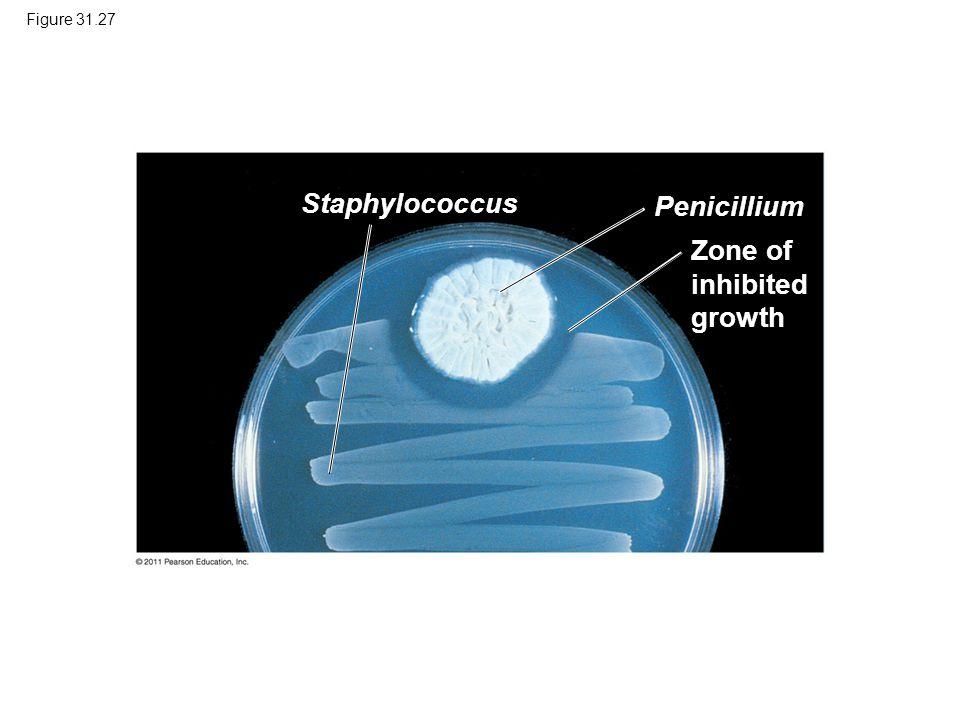 Figure 31.27 Zone of inhibited growth Staphylococcus Penicillium