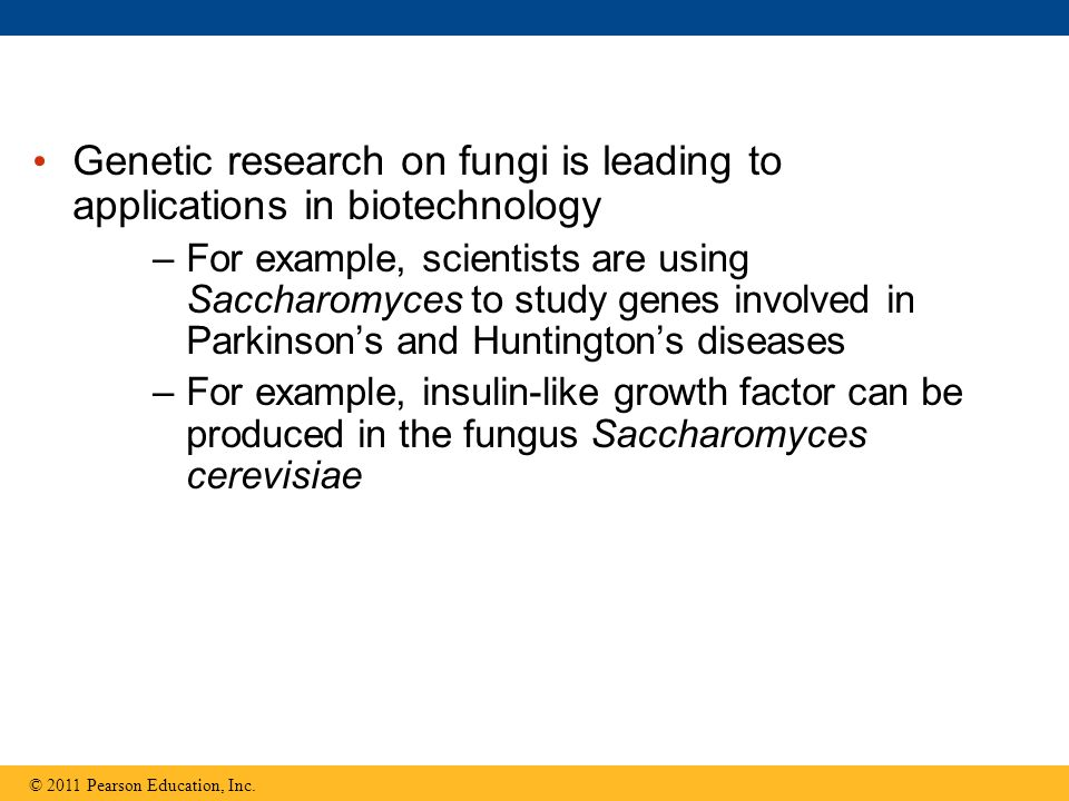 Genetic research on fungi is leading to applications in biotechnology –For example, scientists are using Saccharomyces to study genes involved in Parkinson's and Huntington's diseases –For example, insulin-like growth factor can be produced in the fungus Saccharomyces cerevisiae © 2011 Pearson Education, Inc.