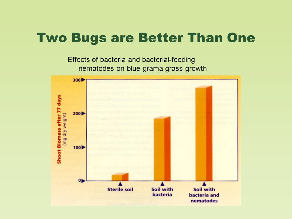 Two Bugs are Better Than One Effects of bacteria and bacterial-feeding nematodes on blue grama grass growth
