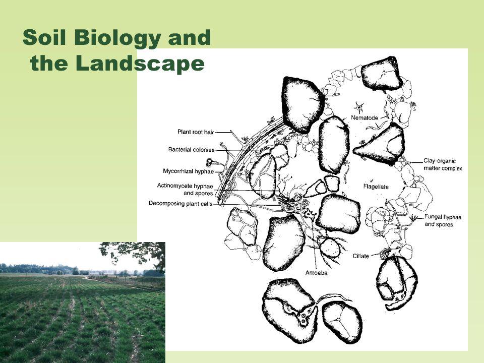 Arbuscular Mycorrhizae (AM)