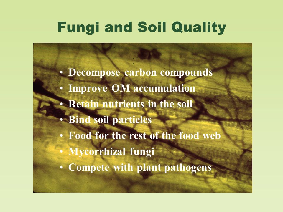 Fungi and Soil Quality Decompose carbon compounds Improve OM accumulation Retain nutrients in the soil Bind soil particles Food for the rest of the food web Mycorrhizal fungi Compete with plant pathogens