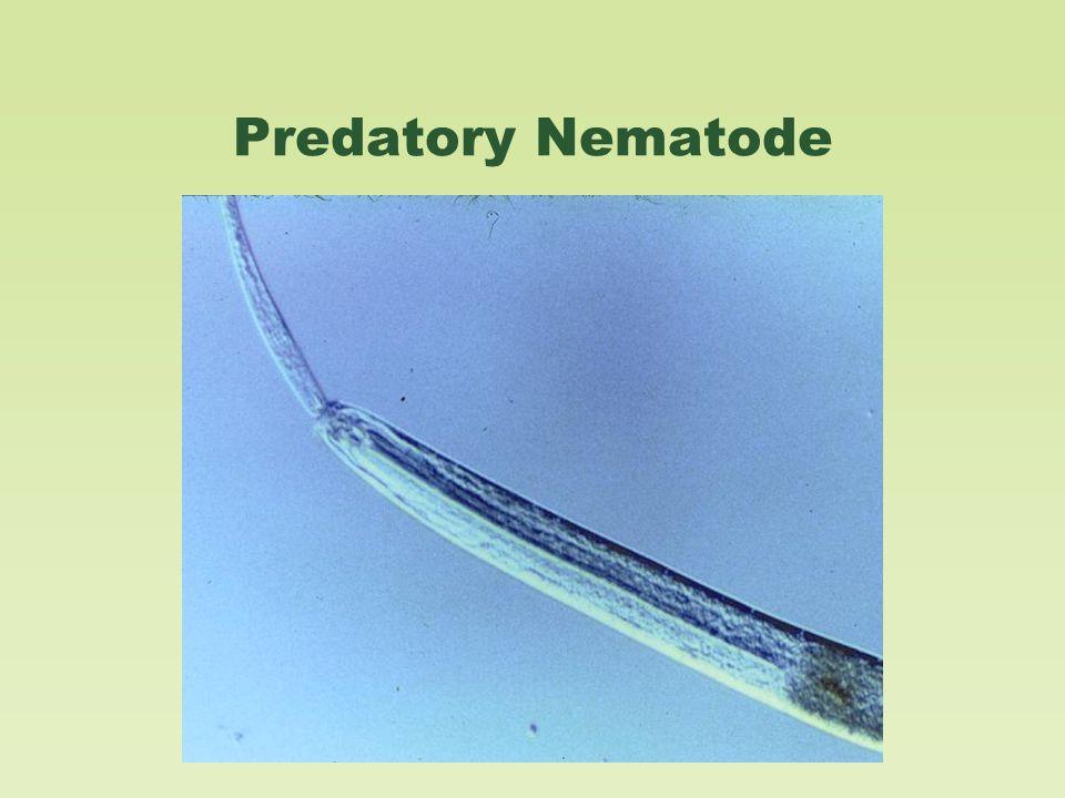 Predatory Nematode