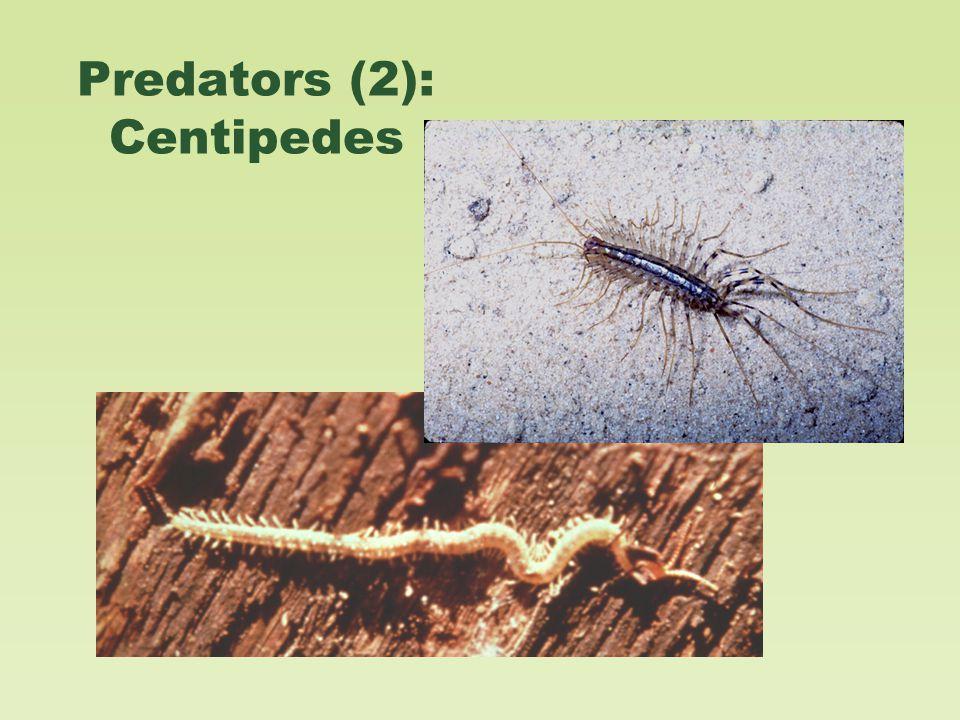 Predators (2): Centipedes