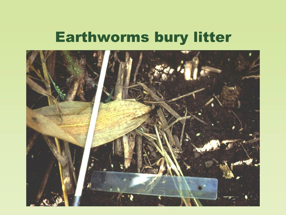 Earthworms bury litter