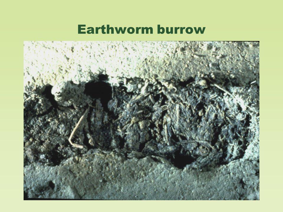 Earthworm burrow