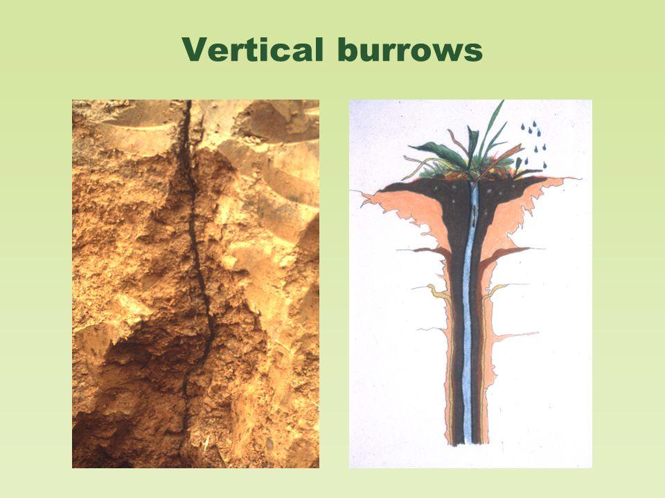 Vertical burrows
