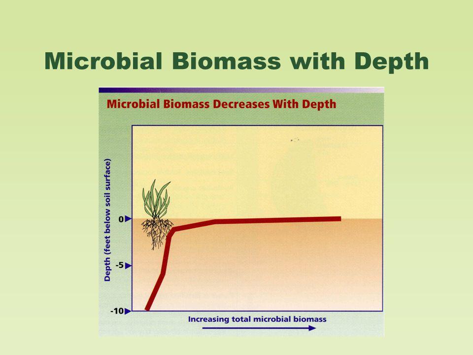 Nitrogen-fixing Bacteria Nodules formed where Rhizobium bacteria infected soybean roots.