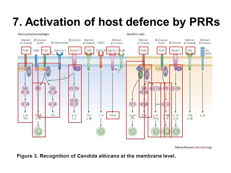 7. Activation of host defence by PRRs Figure 3.