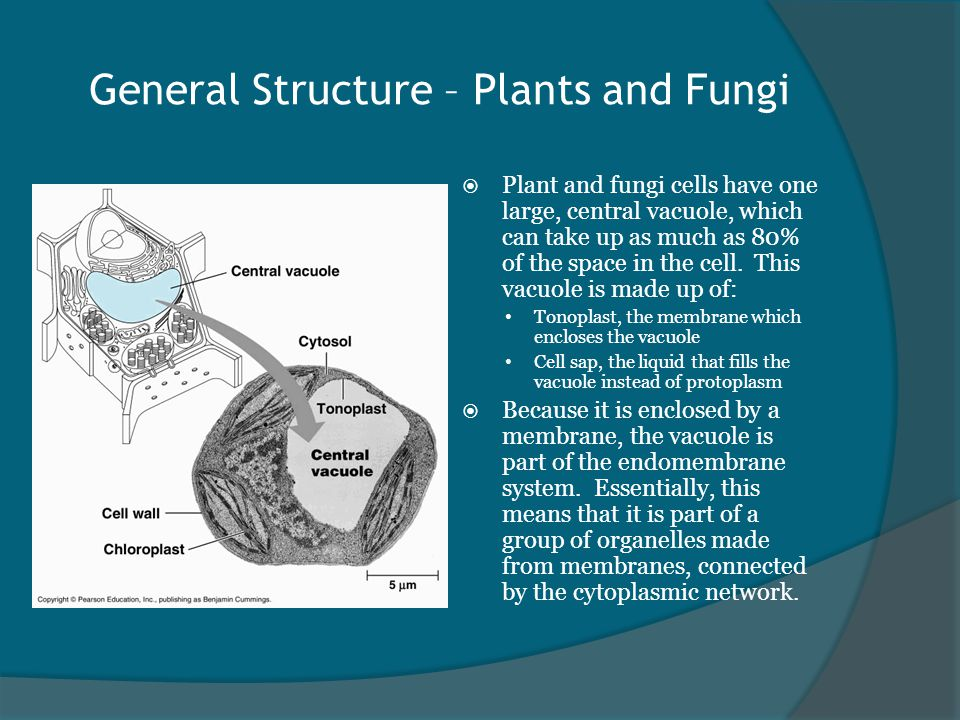 General Structure – Plants and Fungi  Plant and fungi cells have one large, central vacuole, which can take up as much as 80% of the space in the cell.