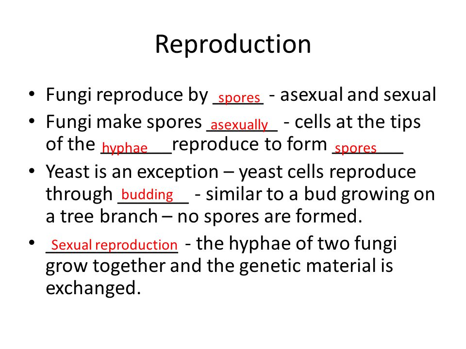 Reproduction Fungi reproduce by _____ - asexual and sexual Fungi make spores _______ - cells at the tips of the _______reproduce to form _______ Yeast