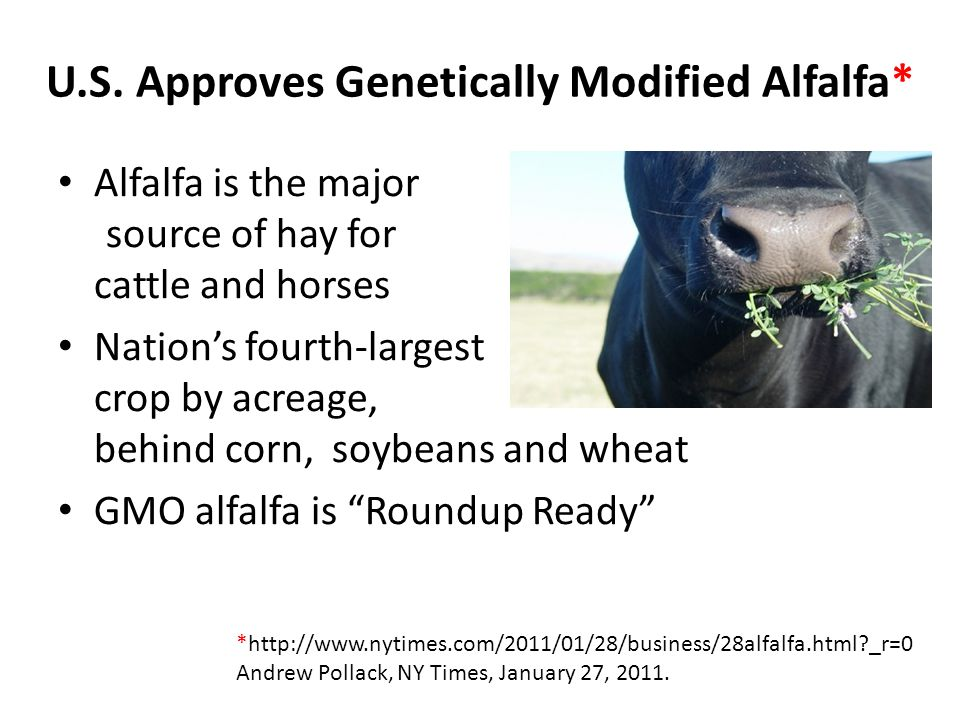 U.S. Approves Genetically Modified Alfalfa* Alfalfa is the major source of hay for cattle and horses Nation's fourth-largest crop by acreage, behind c