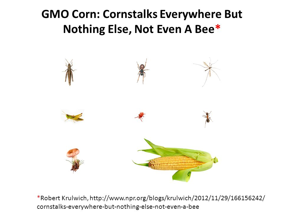 GMO Corn: Cornstalks Everywhere But Nothing Else, Not Even A Bee* *Robert Krulwich, http://www.npr.org/blogs/krulwich/2012/11/29/166156242/ cornstalks-everywhere-but-nothing-else-not-even-a-bee
