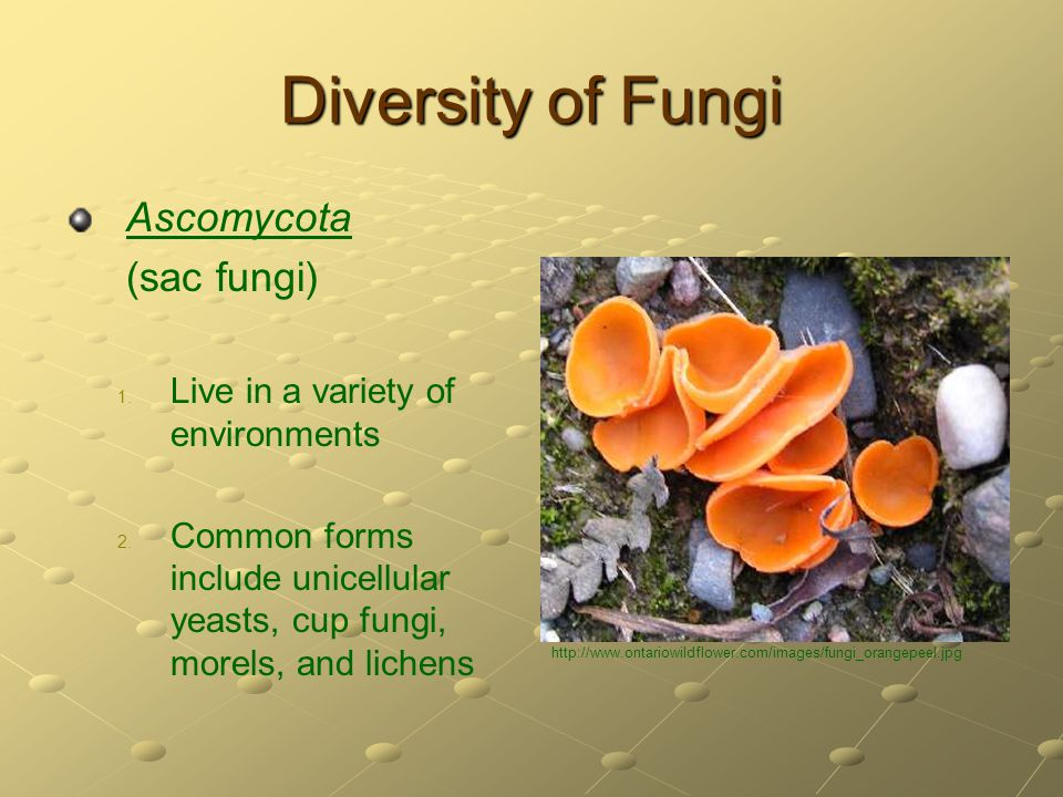 Diversity of Fungi Ascomycota (sac fungi) 1. 1. Live in a variety of environments 2. 2. Common forms include unicellular yeasts, cup fungi, morels, an