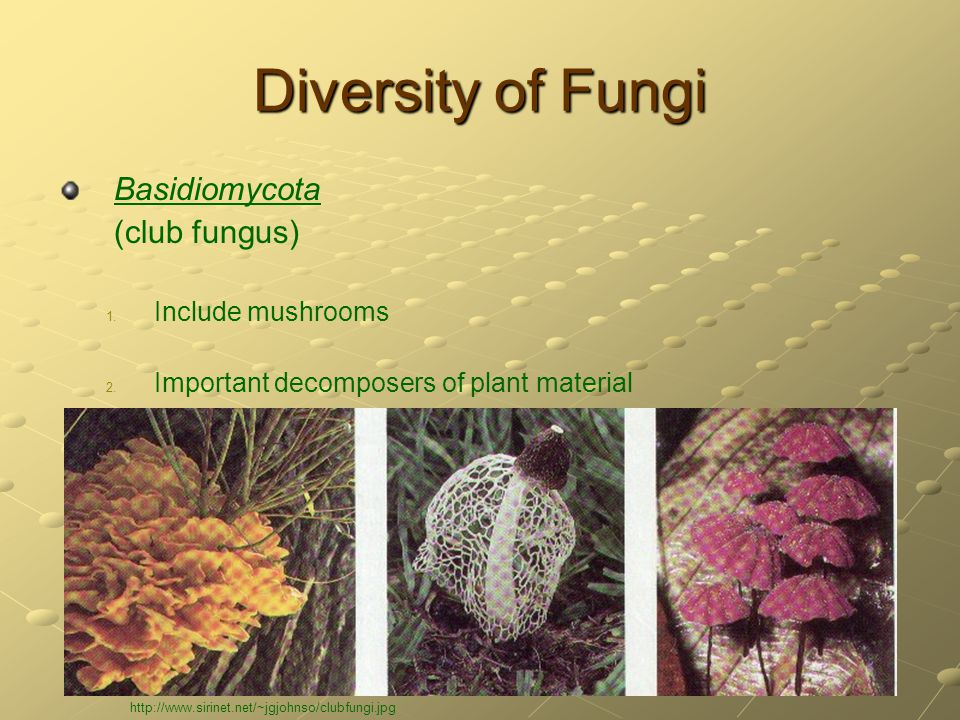 Diversity of Fungi Basidiomycota (club fungus) 1. 1. Include mushrooms 2. 2. Important decomposers of plant material http://www.sirinet.net/~jgjohnso/