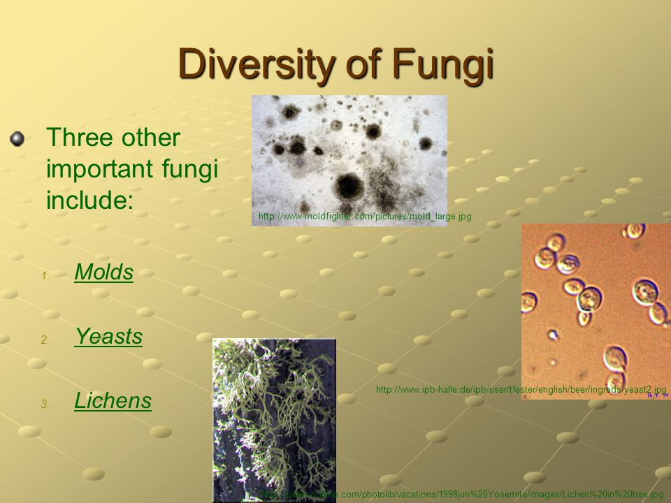 Diversity of Fungi Three other important fungi include: 1. 1. Molds 2. 2. Yeasts 3. 3. Lichens http://www.moldfighter.com/pictures/mold_large.jpg http