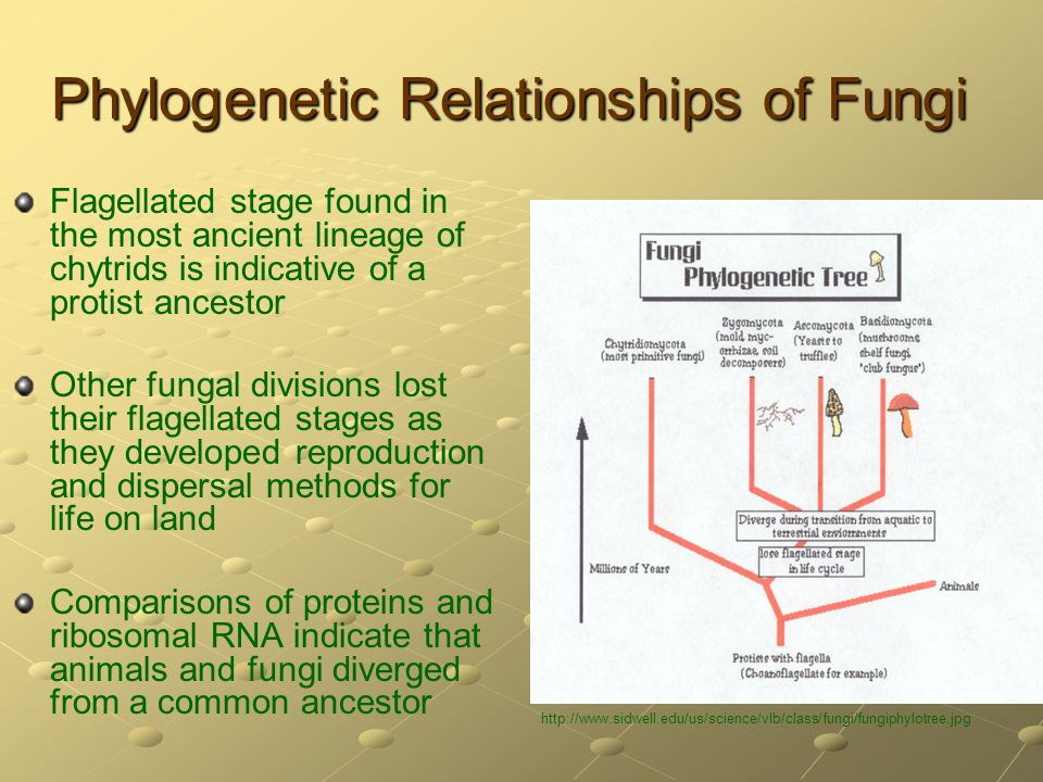 Phylogenetic Relationships of Fungi Flagellated stage found in the most ancient lineage of chytrids is indicative of a protist ancestor Other fungal d