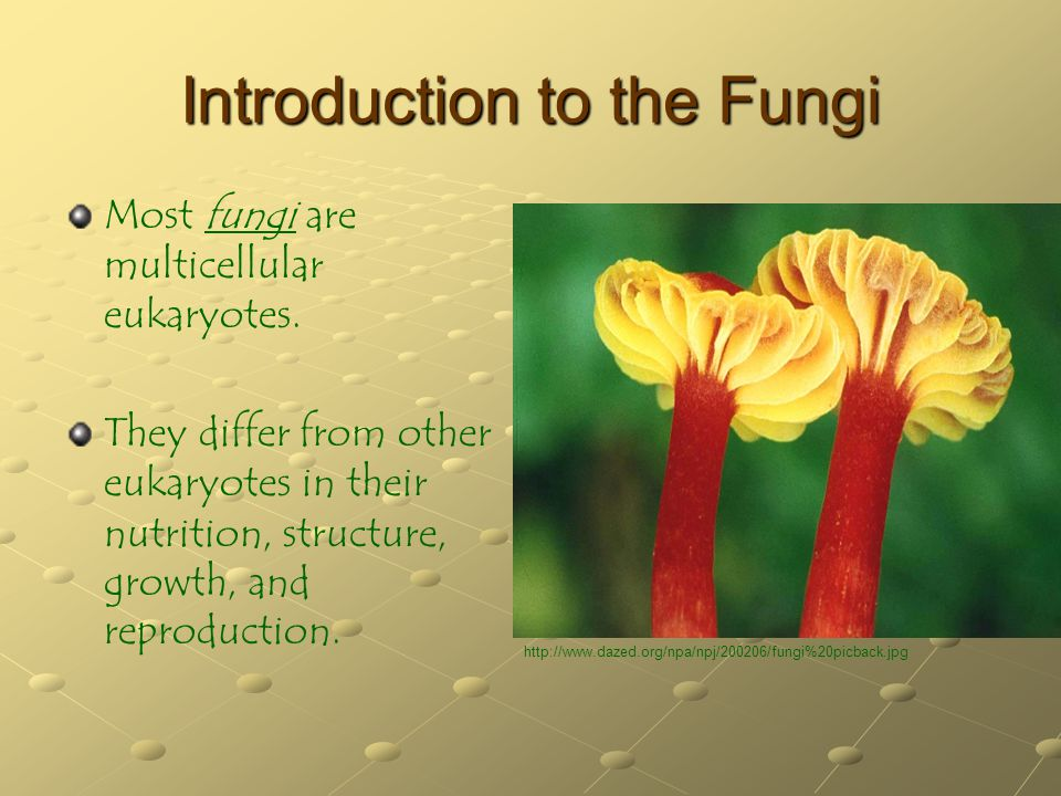 Introduction to the Fungi Fungi are heterotrophs They obtain nutrition through absorption, in which they take up small molecules from their surroundings.