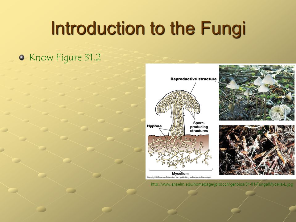 Introduction to the Fungi Know Figure 31.2 http://www.anselm.edu/homepage/jpitocch/genbios/31-01-FungalMycelia-L.jpg