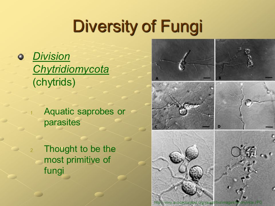 Diversity of Fungi Division Chytridiomycota (chytrids) 1. 1. Aquatic saprobes or parasites 2. 2. Thought to be the most primitive of fungi http://www.