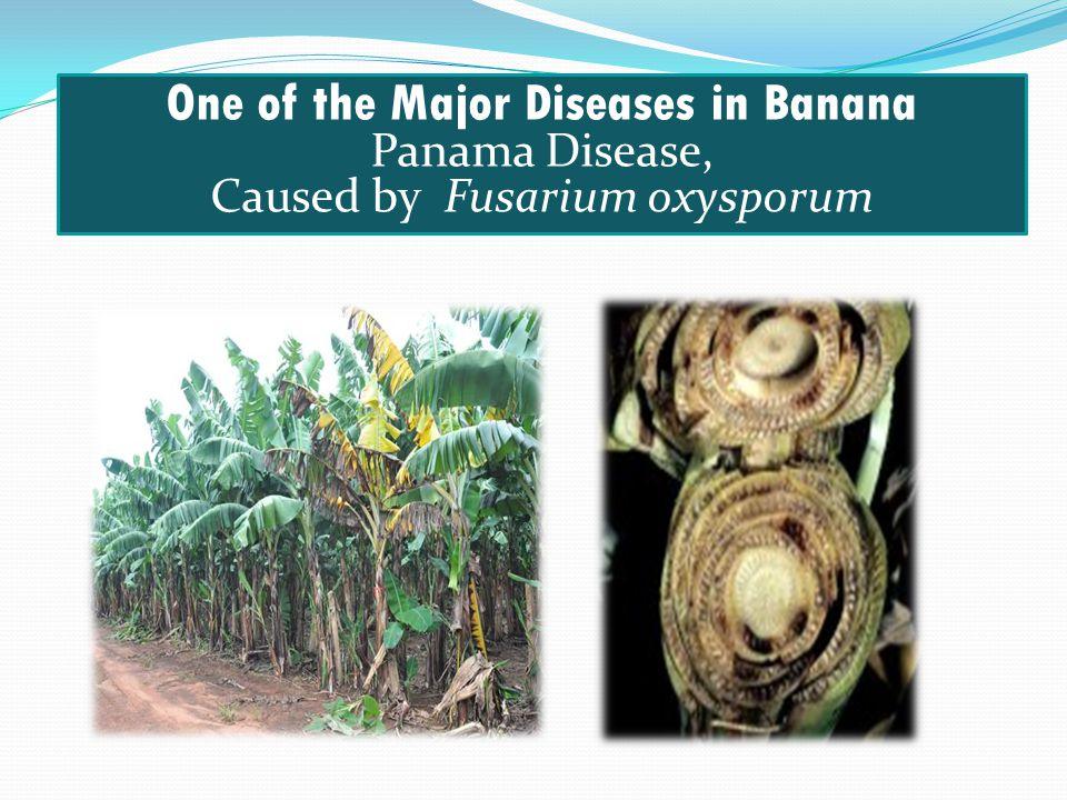 One of the Major Diseases in Banana Panama Disease, Caused by Fusarium oxysporum