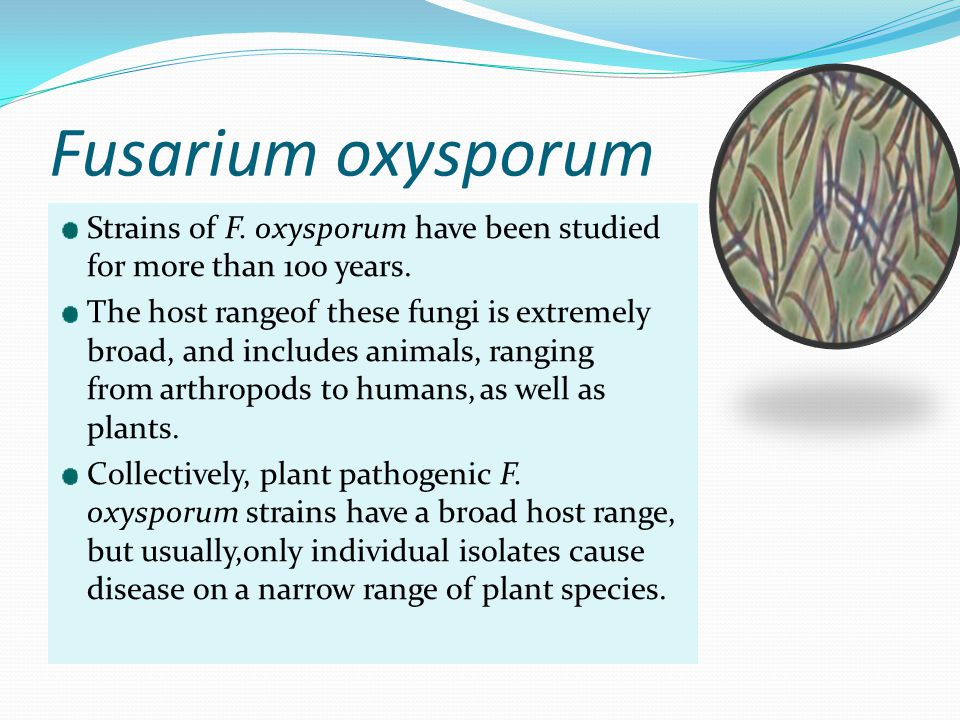 Fusarium oxysporum Strains of F. oxysporum have been studied for more than 100 years. The host rangeof these fungi is extremely broad, and includes an