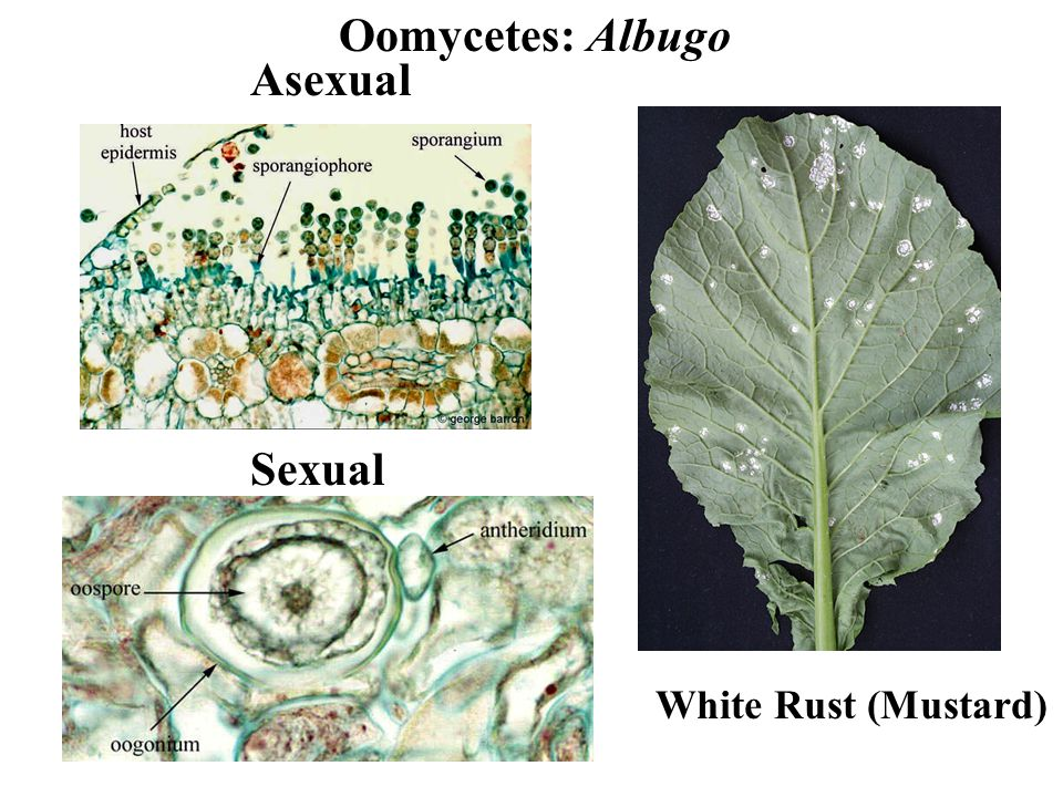 Oomycetes: Albugo White Rust (Mustard) Asexual Sexual